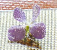 Violets5_2